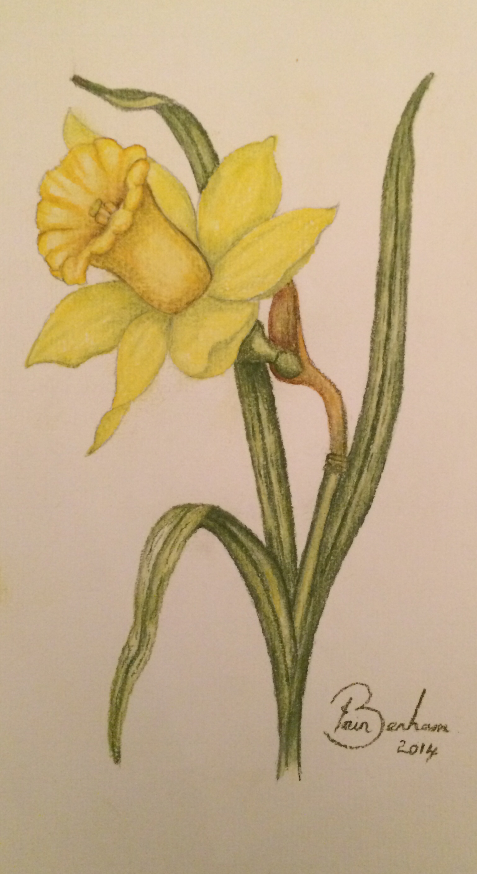 1536x2812 Pastel Pencil Drawing Of A Daffodil Pastel Pencils
