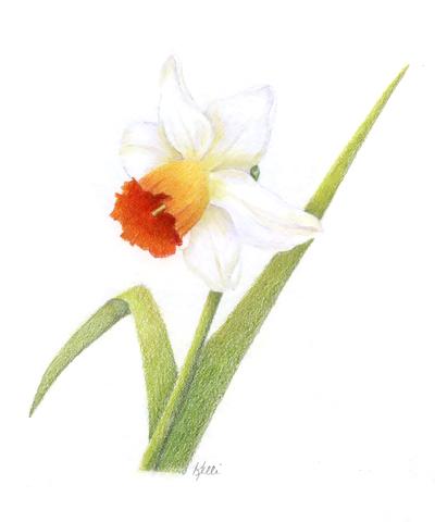 400x480 White Daffodil Daffodils, Colored Pencils And Colored Pencil