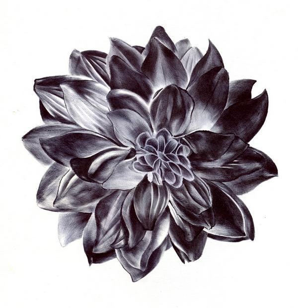 600x620 Dahlia Drawings Black Dahlia Flower Drawing Tattoo Ideas