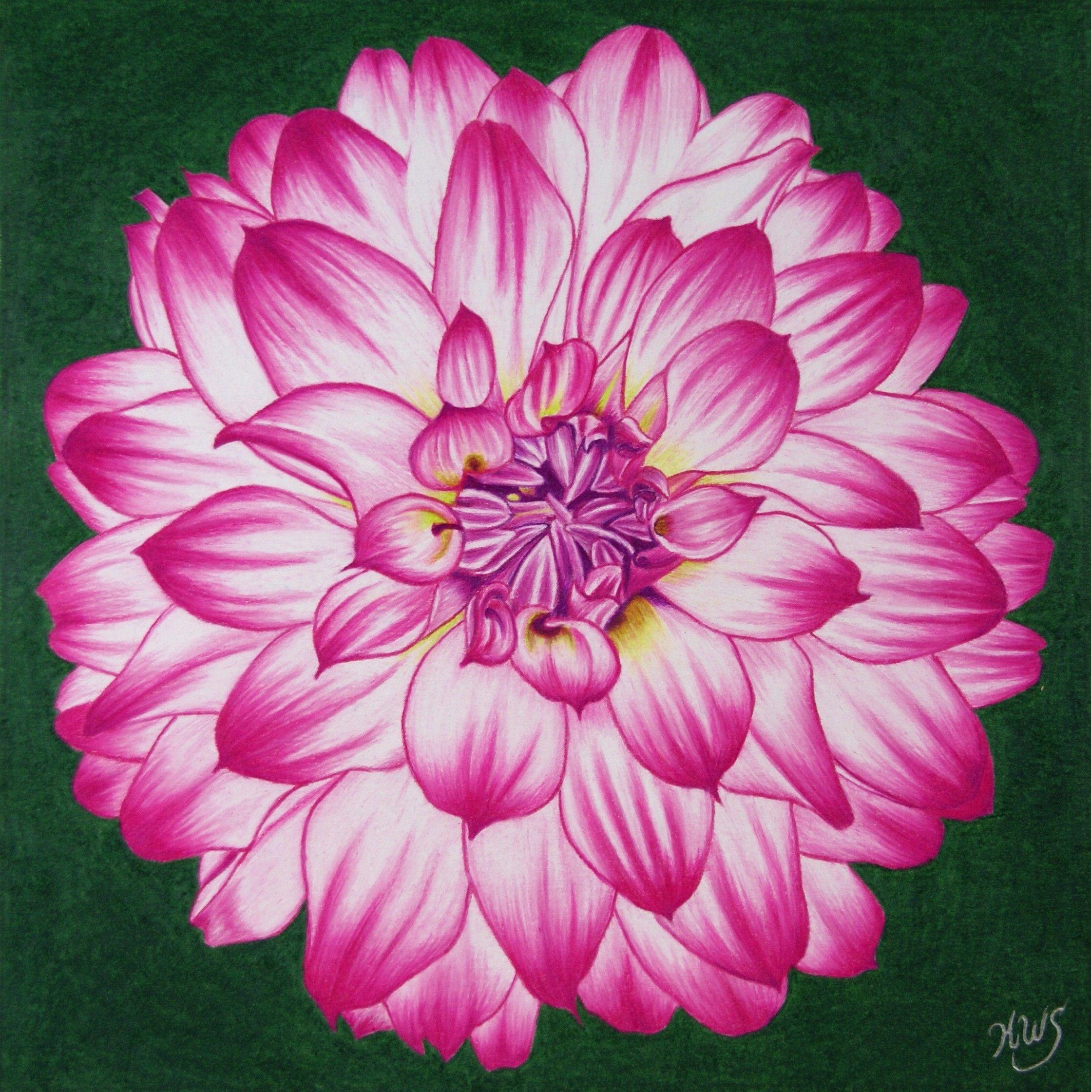 2239x2241 Drawing Dahlias How To Draw Dahlia Flower