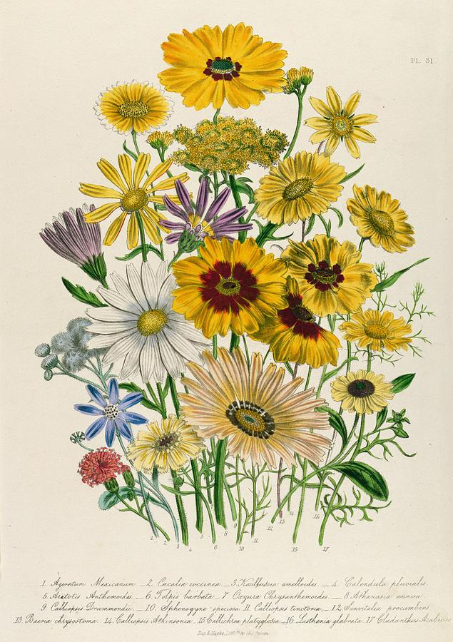 635x900 Daisies Drawing By Jane Loudon