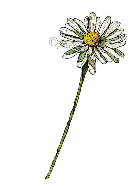 483x640 Daisy Clip Art Hand Drawn Clipart Drawing Of Daisy Flower