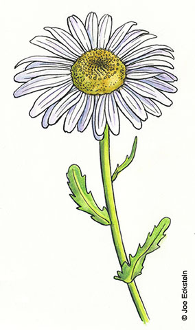 284x480 Daisy Study For Mother's Day Joe Eckstein Illustrator, Graphic
