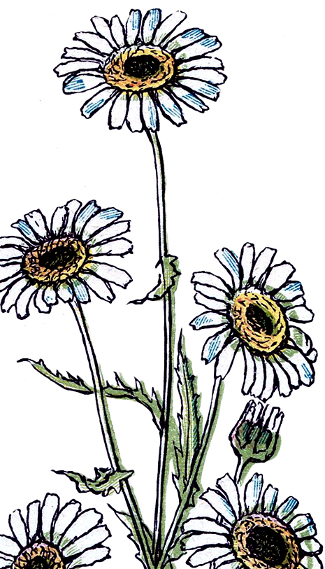 465x813 Pretty Vintage Daisy Drawing!