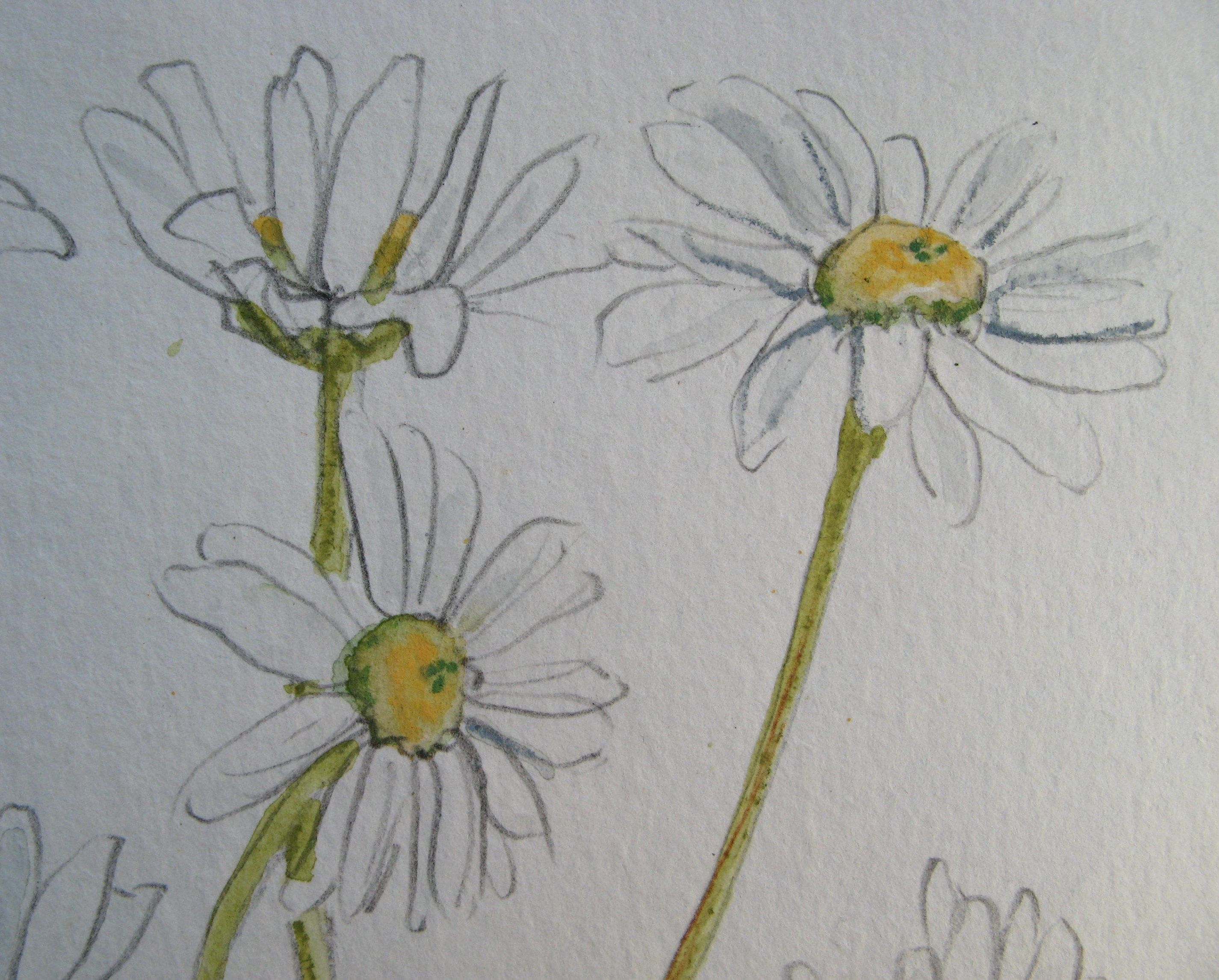 Daisy Flower Line Drawing : Daisey drawing at getdrawings free for personal use