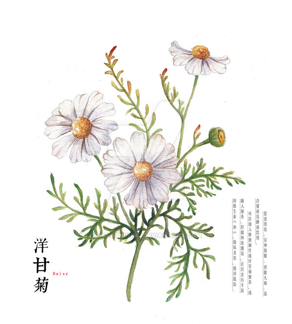 600x664 Hand Drawing Watercolor Plants Daisy By Galoshining