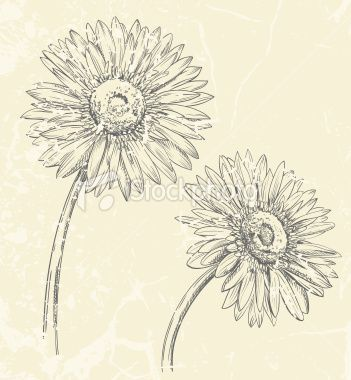 351x380 Gerbera Daisy Drawing Royalty Free Stock Vector Art Illustration