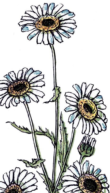 465x813 Pretty Vintage Daisy Drawing Daisy Drawing, Graphics Fairy