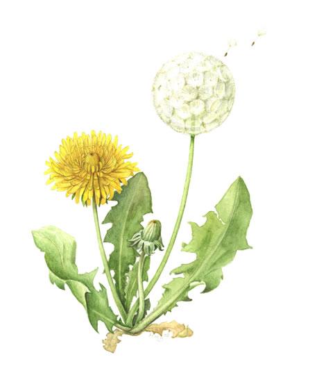 Dandelion Flower Line Drawing : Dandilion drawing at getdrawings free for personal