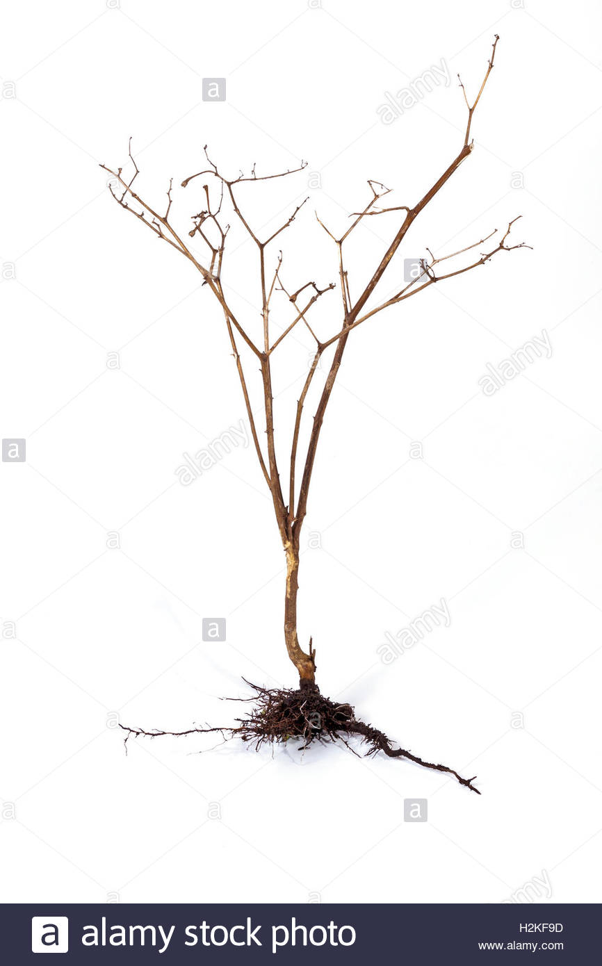 866x1390 Studio Shot Dry Dead Plant And Underground Roots And Soil On White