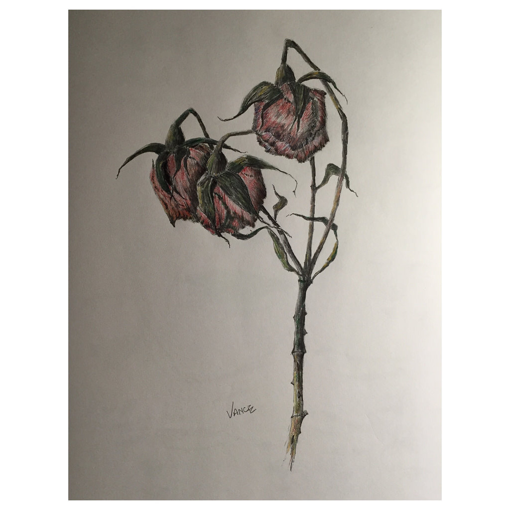 1024x1024 Dead Roses. Colored Pencil Over Graphite Pencil Drawing.