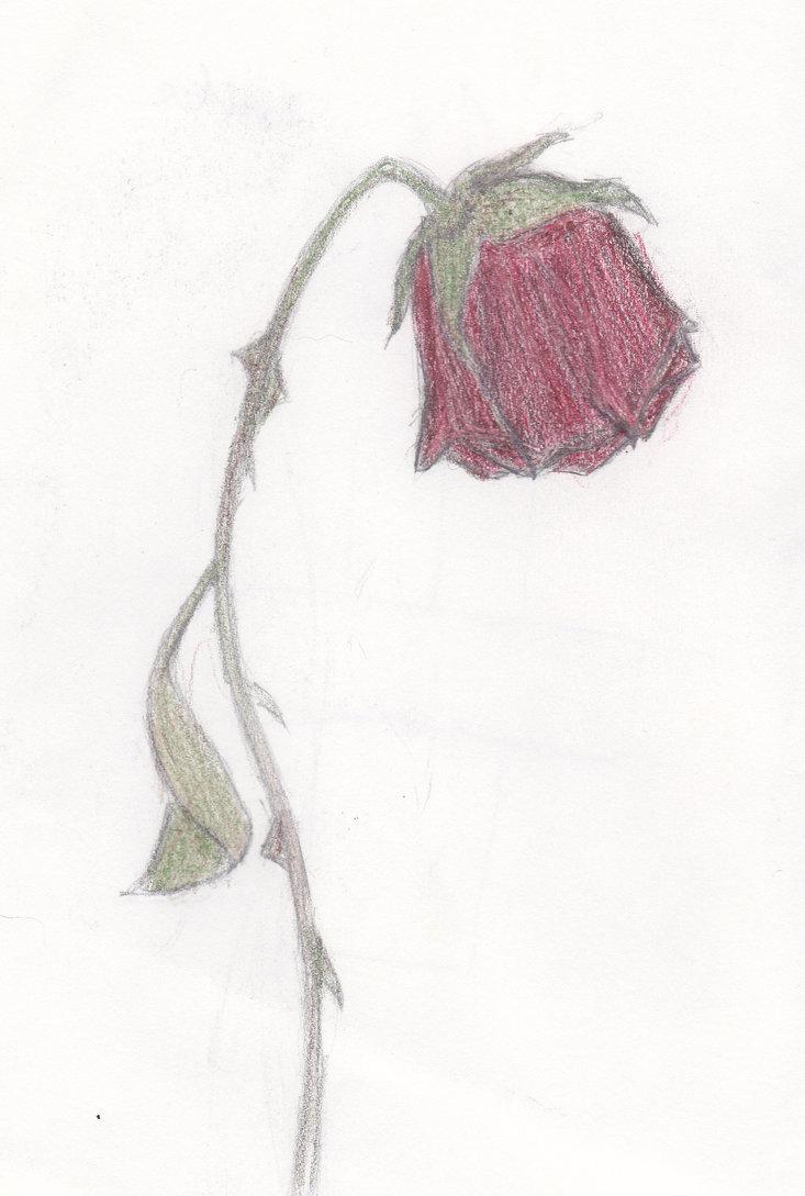 733x1089 Dying Rose By Maroon Biochemist