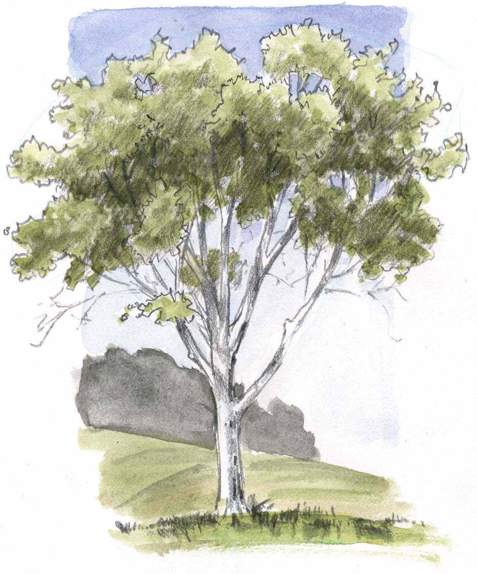 931x1120 How To Draw An Oak Tree Ne