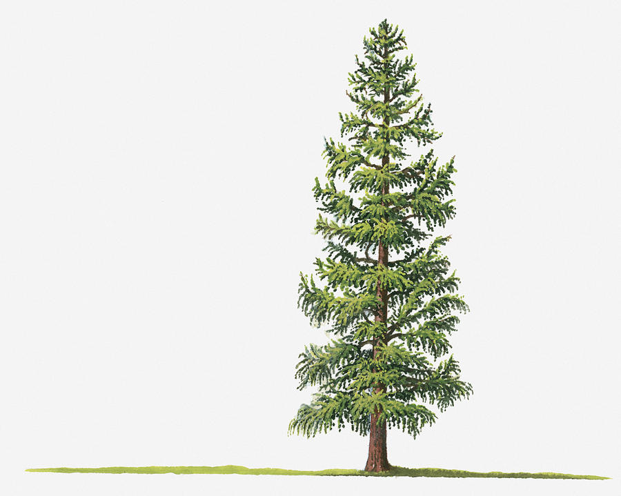 900x719 Illustration Of Larix Laricina (Tamarack, Tamarack Larch