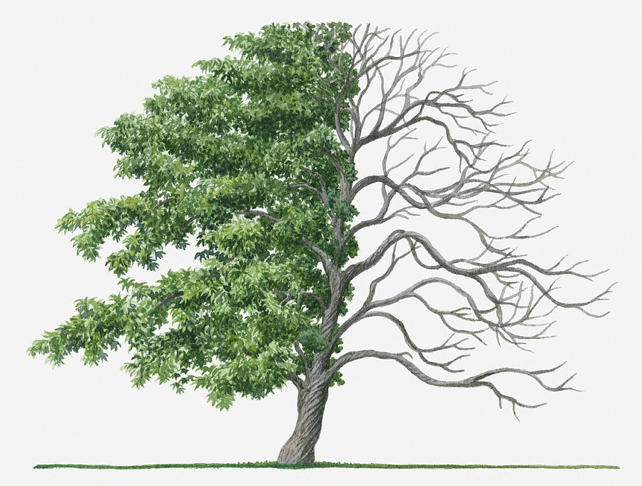 900x681 Illustration Showing Shape Of Deciduous Acer Palmatum (Japanese