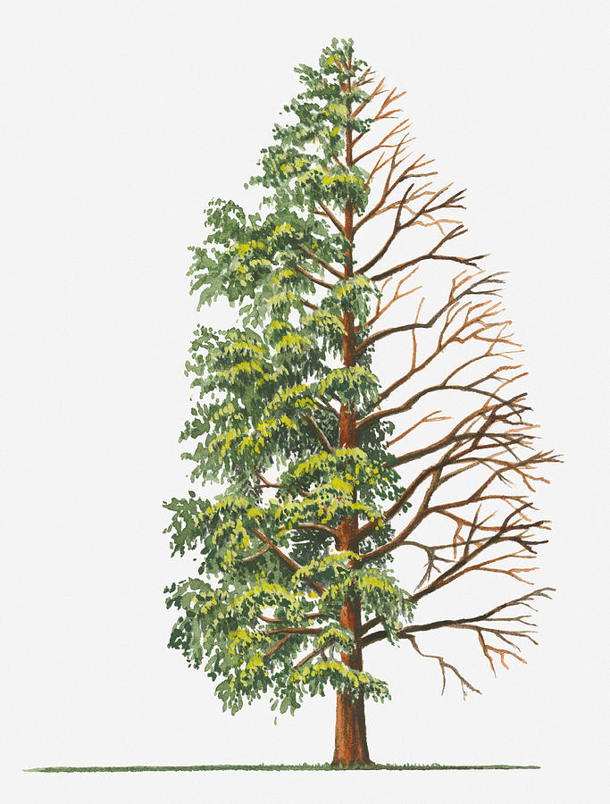 683x900 Illustration Showing Shape Of Deciduous Metasequoia