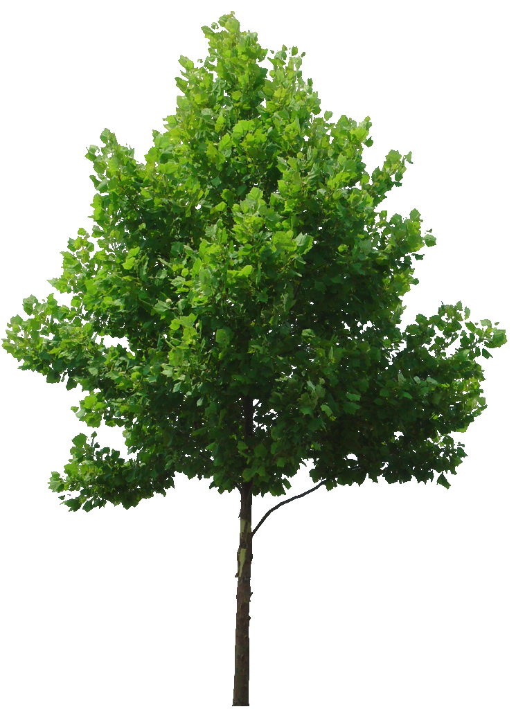 745x1024 Deciduous Tree Cut Out For Rendering Entourage