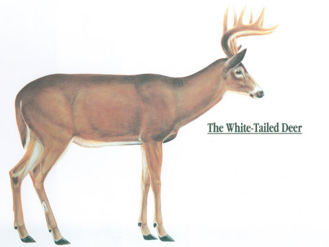480x361 Anatomy Of A Whitetail Deer