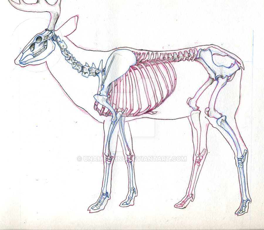900x785 Deer Skeleton Study By Unamedking