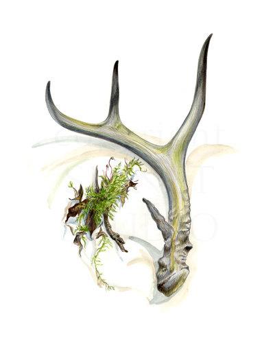 385x500 Antler And Moss Drawing Original Art Deer Men Natural