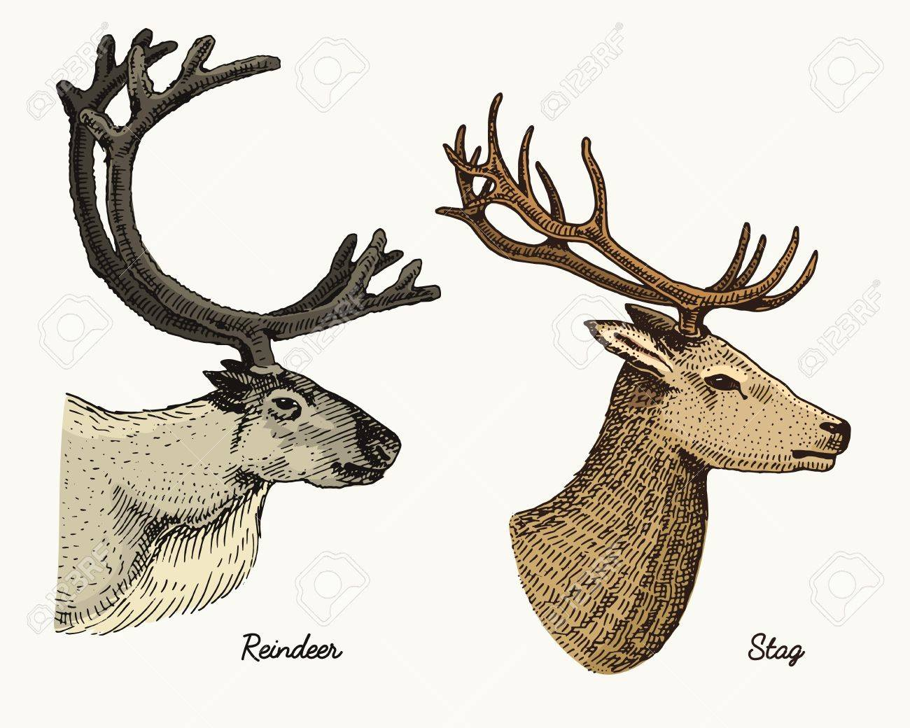 1300x1040 Reindeer And Stag Deer Vector Hand Drawn Illustration, Engraved