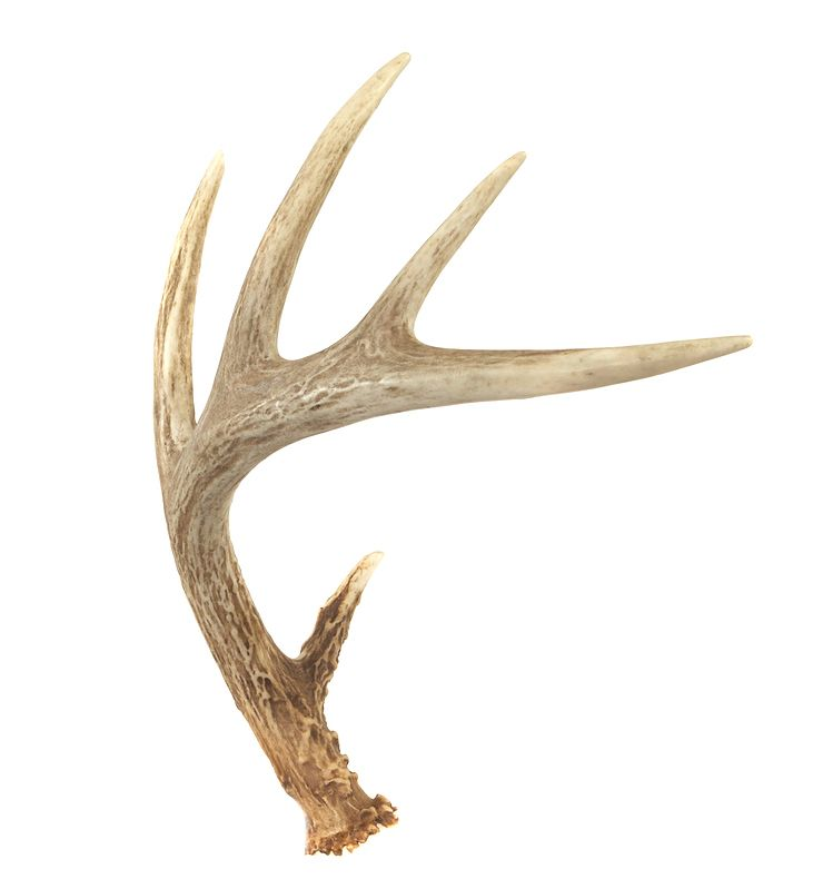 740x799 Whitetail Deer Sheds Pictures