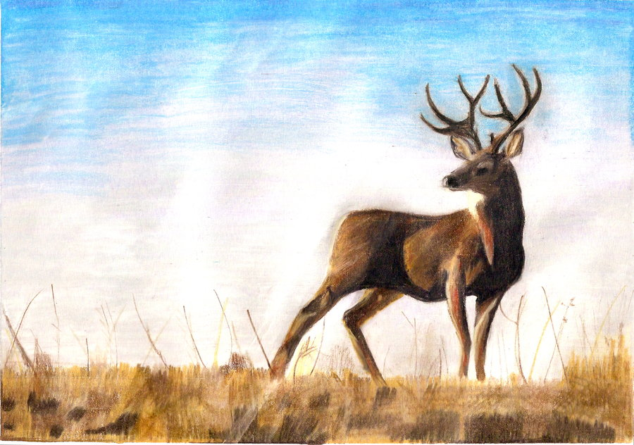 900x632 Mule Deer Buck Drawing By Twixalicious