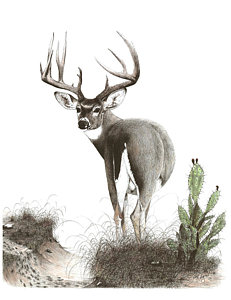 231x300 Whitetail Deer Drawings Fine Art America