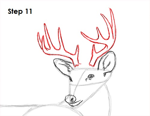 500x386 How To Draw A White Tailed Deer