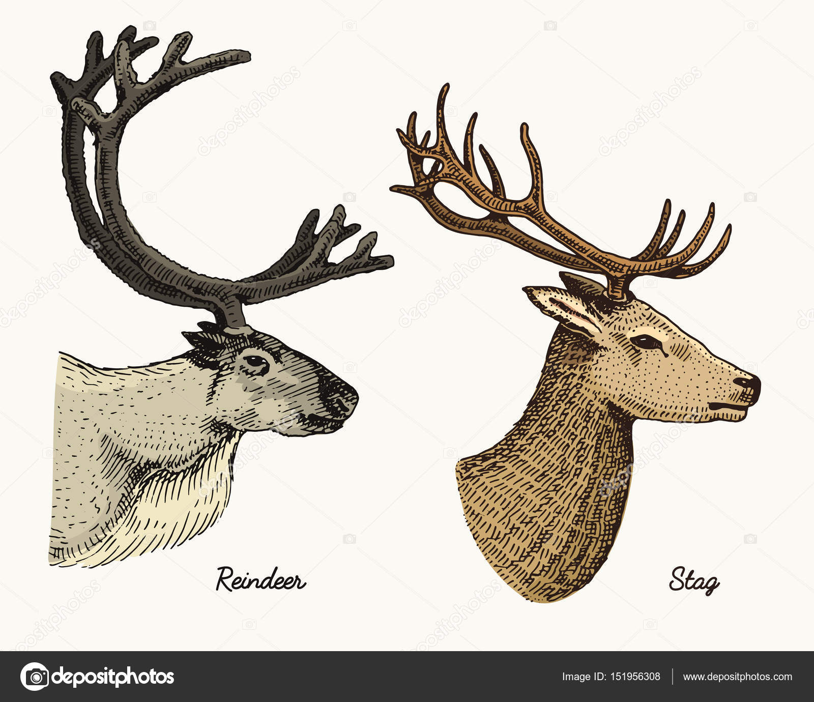 1600x1380 Reindeer And Stag Deer Vector Hand Drawn Illustration, Engraved