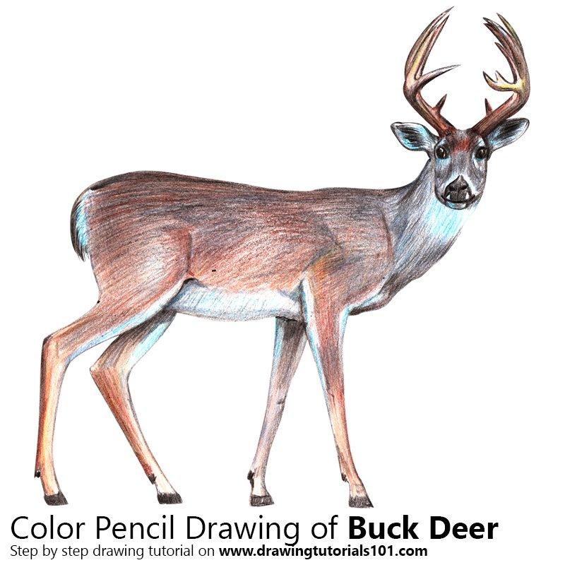 800x800 Buck Deer Colored Pencils