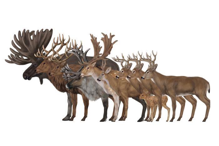 700x467 How To Draw Deer By Monika Zagrobelna