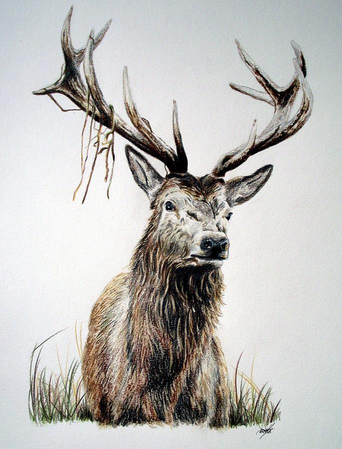 685x900 Red Deer Drawings Fine Art America
