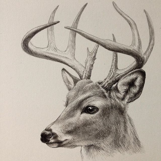 640x640 Deer Drawings In Pen And Ink Deer Art Drawing Artwork