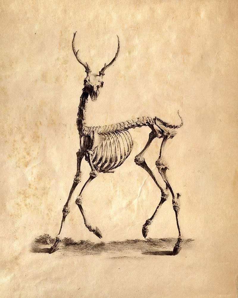 800x1000 8x10 vintage science animal study deer skeleton  by curiousprints