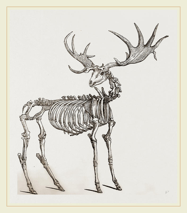 791x900 Skeleton Of Fossil Elk Drawing By Litz Collection