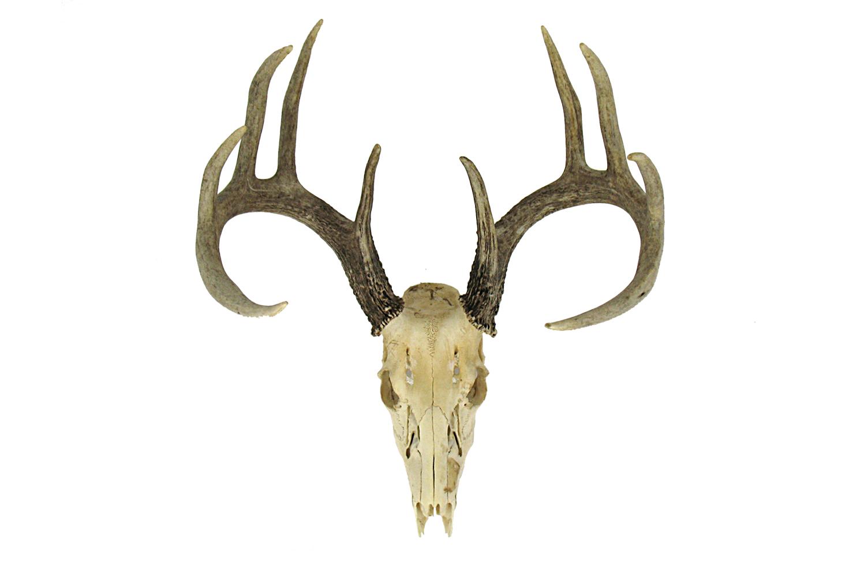 1471x1000 Vintage Deer Skull Omero Home