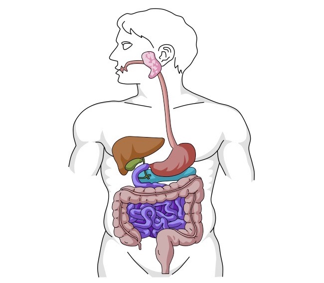 Digestive System Drawing at GetDrawings.com | Free for personal use ...