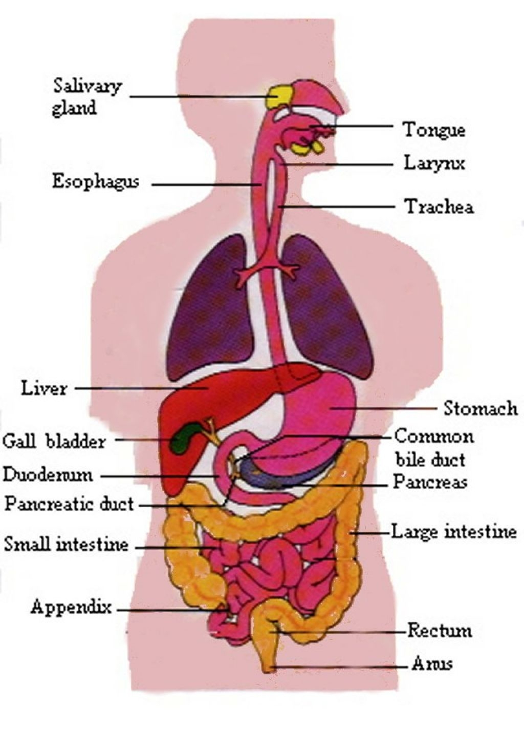 Digestive System Drawing At Getdrawings Free For Personal Use