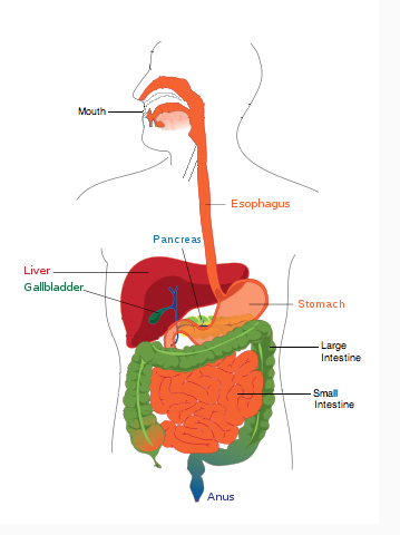 Digestive system drawing at getdrawings free for personal use 359x480 draw and label a diagram of the digestive system biology ccuart Image collections