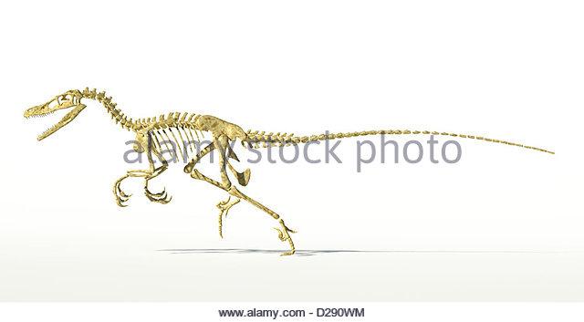 640x353 Velociraptor Dinosaur Skeleton Stock Photos Amp Velociraptor