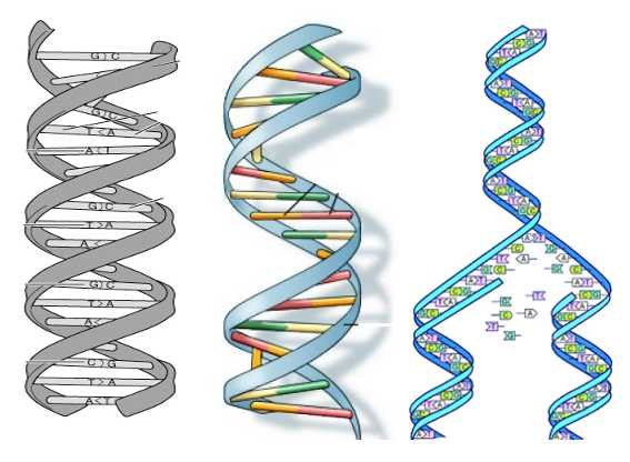 Dna double helix drawing at getdrawings free for personal use 567x416 biobeans where it all begins ccuart Image collections