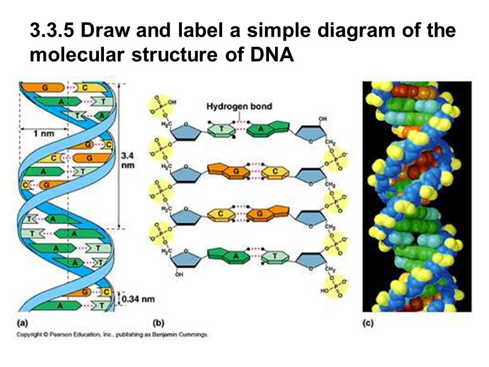Dna model drawing at getdrawings free for personal use dna 960x720 33 and 34 dna structure and replication ccuart Gallery