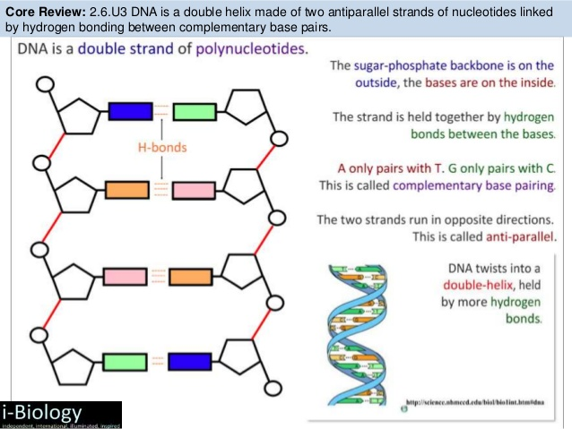 Dna molecule drawing at getdrawings free for personal use dna 638x479 bioknowledgy 71 dna structure and replication ahl ccuart Image collections