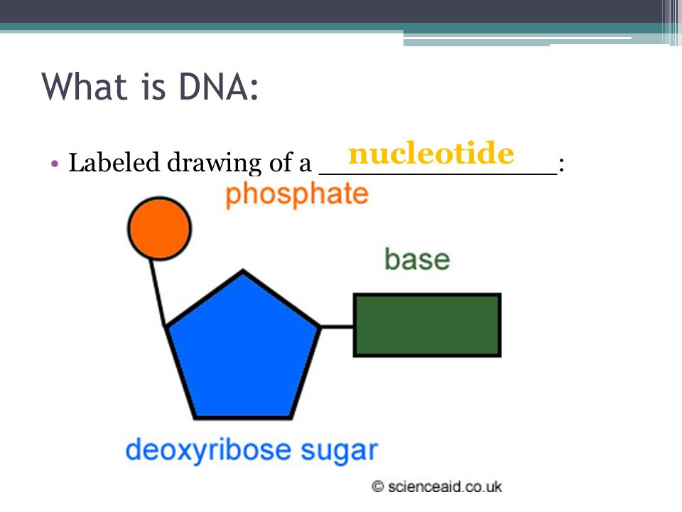 Nucleotide Labeled Diagram 3 Parts Of A Nucleotide And How