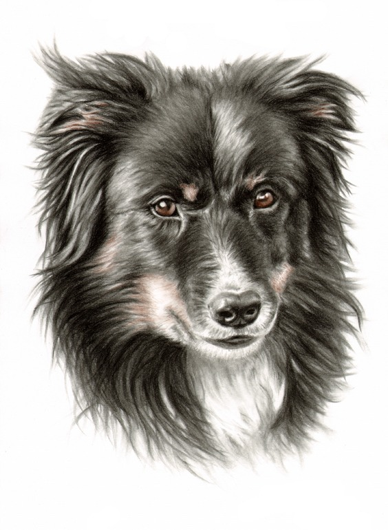 564x770 Border Collie Portrait Drawing By Nicole Zeug Charcoal Drawings
