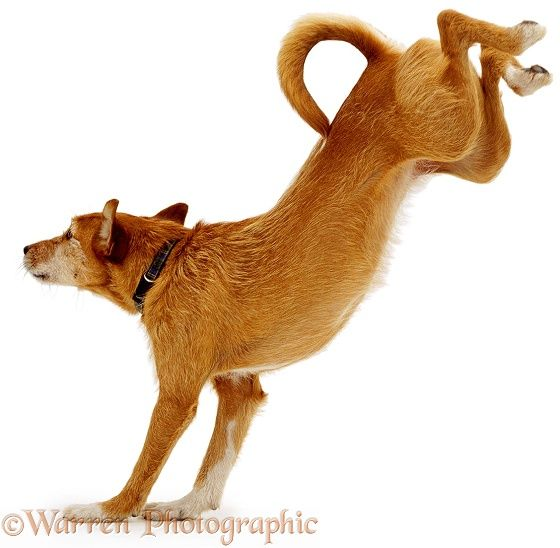 560x548 9 Best Dog Jump Reference Images On Anatomy, Animal