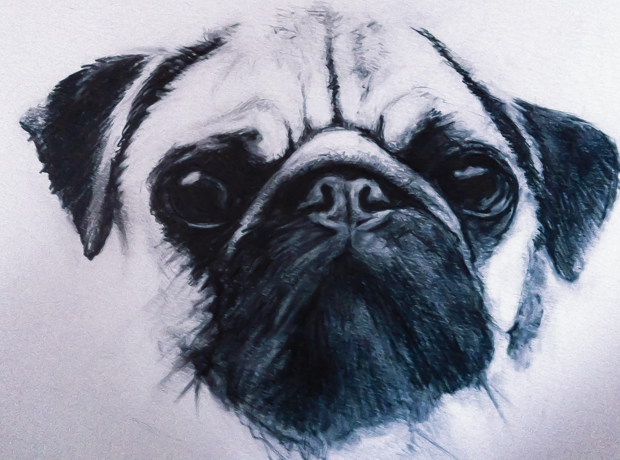 2047x1520 Pug Sketch, Pencil Drawing, Art, Pencil Sketch, Sketch, Dog
