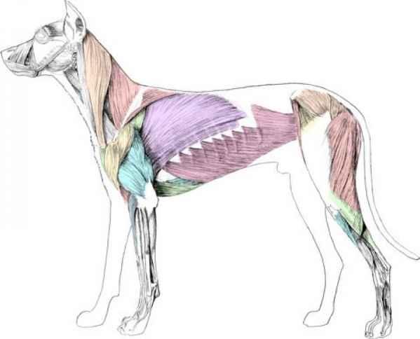 599x484 Canine Skeleton