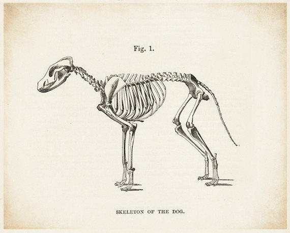 570x459 Dog Skeleton Dog Art Dog Picture Dog Drawing Skeleton